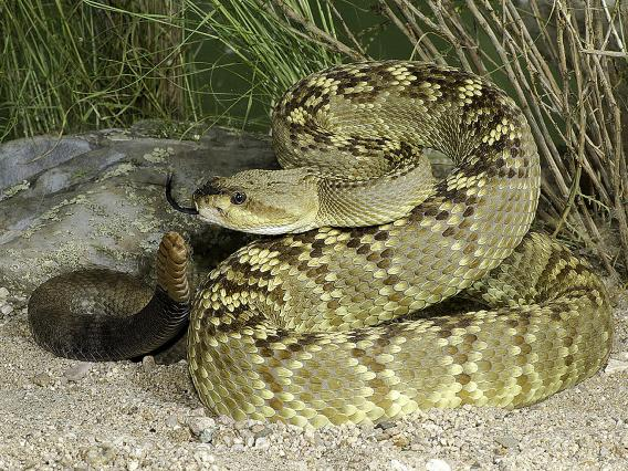 Black-tailed Rattlesnake – Crotalus molossus