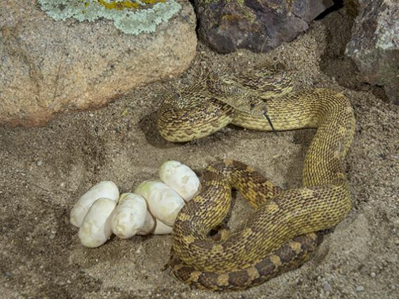 Gophersnake with eggs - Pituophis catenifer